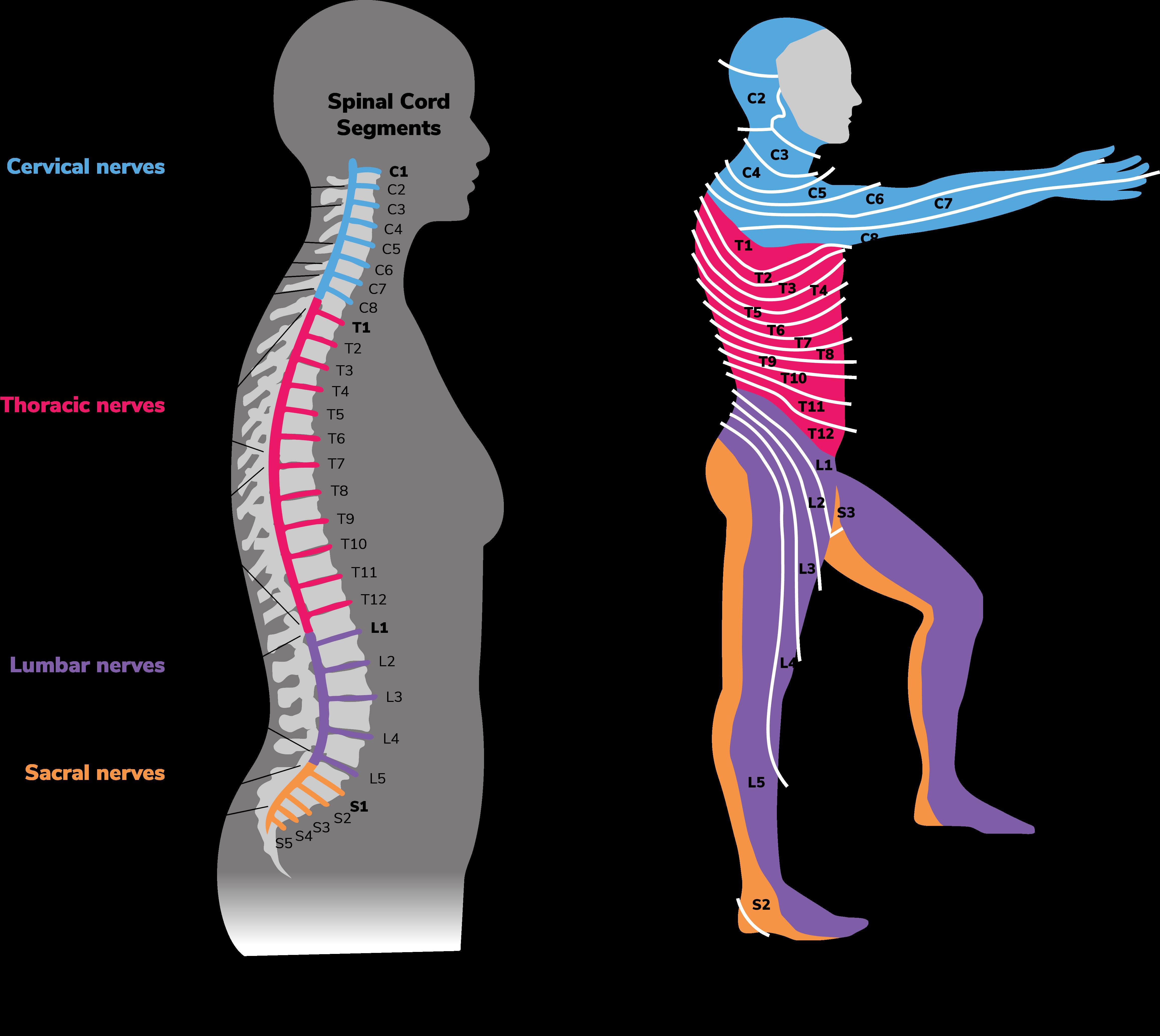 Diagrams depicting motor control and dermatones.